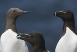 Two Razorbills and a Common Guillemot, Saltee Islands, County Wexford, Ireland, June Photographic Print by  Hermansen