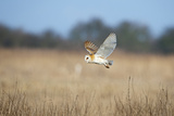 Barn Owl (Tyto Alba) in Flight over Marshes, Hunting, Norfolk, UK, February Photographic Print by David Tipling