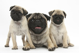 Fawn Pug and Puppies, 8 Weeks Photographic Print by Mark Taylor