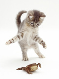 Blue Tabby Kitten Playing with a Common European Toad (Bufo Bufo) Photographic Print by Mark Taylor