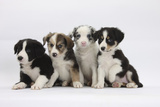 Four Border Collie Puppies Photographic Print by Mark Taylor
