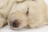 Sleeping Yellow Labrador Retriever Puppy, Sleeping Head Closeup, 8 Weeks Photographic Print by Mark Taylor