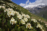 Caucasian Rhododendron Flowers with Mount Elbrus in the Distance, Caucasus, Russia, June 2008 Photographic Print by  Schandy