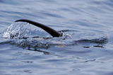 European River Otter (Lutra Lutra) Hunting in Sea, Tail Above Water, Ardnamurchan, Scotland Photographic Print by  Campbell