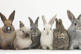 Six Baby Rabbits in Line Photographic Print by Mark Taylor