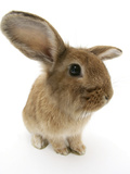 Sandy Lionhead-Cross Rabbit Photographic Print by Mark Taylor