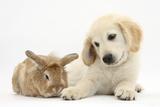Lionhead Cross Rabbit, Tedson, and Golden Retriever Dog Puppy, Oscar, 3 Months Photographie par Mark Taylor