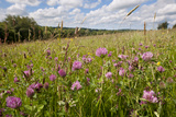Red Clover {Trifolium Pratense} Flowering in Hay Meadow at Denmark Farm, Lampeter, Wales, UK. June Photographic Print by Ross Hoddinott