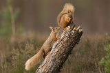 Red Squirrel (Sciurus Vulgaris) Approaching Another as it Eats a Nut, Cairngorms Np, Scotland Photographic Print by Peter Cairns