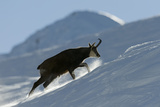 Chamois (Rupicapra Rupicapra) Climbing Up Hillside in Snow, Gran Paradiso Np, Italy, November Photographic Print by E. Haarberg