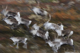 Reindeer (Rangifer Tarandus) Running, Forollhogna National Park, Norway, September Photographic Print by  Munier