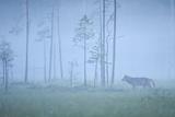 Wild European Grey Wolf (Canis Lupus) Silhoutted in Mist, Kuhmo, Finland, July 2008 Fotografisk trykk av  Widstrand