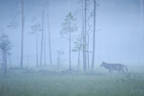 Wild European Grey Wolf (Canis Lupus) Silhoutted in Mist, Kuhmo, Finland, July 2008 Photographic Print by  Widstrand