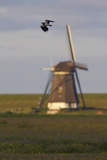 Lapwing (Vanellus Vanellus) Flying Past Windmill, Texel, Netherlands, May 2009 Photographic Print by  Peltomäki