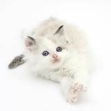 Colourpoint Kitten Stretching Photographic Print by Mark Taylor