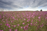 Sticky Catchfly (Silene Viscaria) in Flower Meadow, Lithuania, June 2009 Photographic Print by  Hamblin