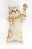 Ginger Kitten Reaching Up Photographic Print by Mark Taylor