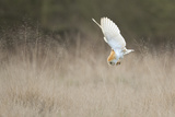 Barn Owl (Tyto Alba) Diving Towards Prey. Wales, UK, March. Sequence 1 of 2 Photographic Print by Andy Rouse