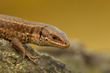 Common Lizard (Zootoca Vivipara) Basking in the Early Spring, Staffordshire, England, UK, April Photographic Print by Danny Green