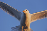Herring Gull (Larus Argentatus) in Flight, in Midnight Sun, Flatanger, Nord Trondelag, Norway Photographic Print by  Widstrand