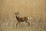 Roe Deer (Capreolus Capreolus) Male Amongst Reeds in Marsh, Matsalu National Park, Estonia, May Photographic Print by  Rautiainen
