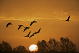Common Cranes (Grus Grus) in Flight at Sunrise, Brandenburg, Germany, October 2008 Photographic Print by Möllers