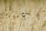 Reed Bunting (Emberiza Schoeniclus) Male Perched on Reeds, Woodwalton Fen, Cambridgeshire Fens, UK Photographic Print by David Tipling