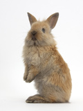 Baby Lionhead Cross Lop Rabbit, Standing Photographic Print by Mark Taylor