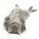 Maine Coon Kitten, 8 Weeks, Lying on its Back, Looking Up in a Playful Manner Photographic Print by Mark Taylor