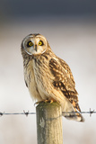 Short-Eared Owl (Asio Flammeus) Perched on a Fence Post, Worlaby Carr, Lincolnshire, England, UK Photographic Print by Danny Green