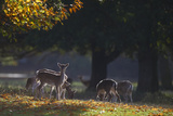 Fallow Deer (Dama Dama) Grazing, Holkham, Norfolk, November 2011 Photographic Print by David Tipling