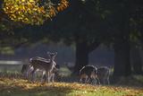 Fallow Deer (Dama Dama) Grazing, Holkham, Norfolk, November 2011 Photographic Print by David Tipling