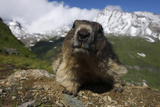 Alpine Marmot (Marmota Marmota) Portrait, Hohe Tauern National Park, Austria, July 2008 Photographic Print by  Lesniewski