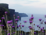 Melancholy Thistle Flowers, Cliffs of Moher, the Burren, County Clare, Ireland, June Photographic Print by  Hermansen