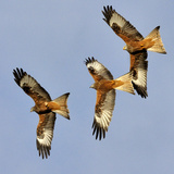 Three Red Kites (Milvus Milvus) Chasing Each Other in Flight. Wales, UK. November Photographic Print by Andy Rouse