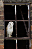 Barn Owl (Tyto Alba) Portrait Perched in Old Window Frame. Wales, UK, March Photographic Print by Andy Rouse