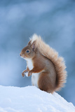 Red Squirrel (Sciurus Vulgaris) Adult in Snow, Cairngorms National Park, Scotland, UK, February Photographic Print by Mark Hamblin