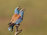 European Roller (Coracias Garrulus) Pair Vocalising, Pusztaszer, Hungary, May 2008 Reproduction photographique par  Varesvuo