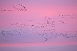 Pink-Footed Geese (Anser Brachyrhynchus) in Flight at Dusk. the Wash. Norfolk, January Photographic Print by David Tipling