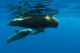 Shortfin Pilot Whale (Globicephala Macrorhynchus) with Baby, Canary Islands, Spain, Europe, May Photographic Print by  Relanzón