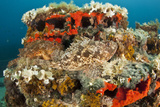 Two Scorpionfish (Scorpaena Porcus) Lying on Artificial Reef, Larvotto Marine Reserve, Monaco Photographic Print by  Banfi