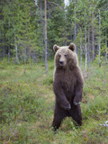 European Brown Bear (Ursos Arctos) Standing on Rear Legs, Kuhmo, Finland, July 2009 Photographic Print by  Cairns