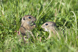 Two Young European Sousliks (Spermophilus Citellus) One Feeding, Eastern Slovakia, Europe, June Photographic Print by  Wothe