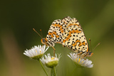 Balkan Fritillary Butterflies (Boloria Graeca) Mating, Djerdap National Park, Serbia, June 2009 Photographic Print by  Smit