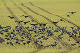 Flock of Dark-Bellied Brent Geese (Branta Bernicla) Feeding on Crops, South Swale, Kent, UK Photographic Print by Terry Whittaker
