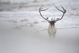 Reindeer (Rangifer Tarandus) with Large Antlers, Forollhogna National Park, Norway, September 2008 Photographic Print by  Munier