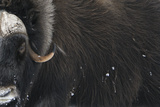 Muskox (Ovibos Moschatus) Close-Up, Dovrefjell National Park, Norway, February 2009 Photographic Print by  Munier