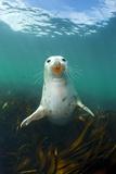 Grey Seal (Halichoerus Grypus) Underwater Amongst Kelp. Farne Islands, Northumberland, England Photographic Print by Alex Mustard