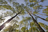 View Looking Up to Silver Birch (Betula Pendula) Canopy in Spring, Craigellachie, Cairngorms Np, UK Photographic Print by Mark Hamblin