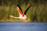 Greater Flamingo (Phoenicopterus Roseus) Taking Off from Lagoon, Camargue, France, May 2009 Photographic Print by  Allofs